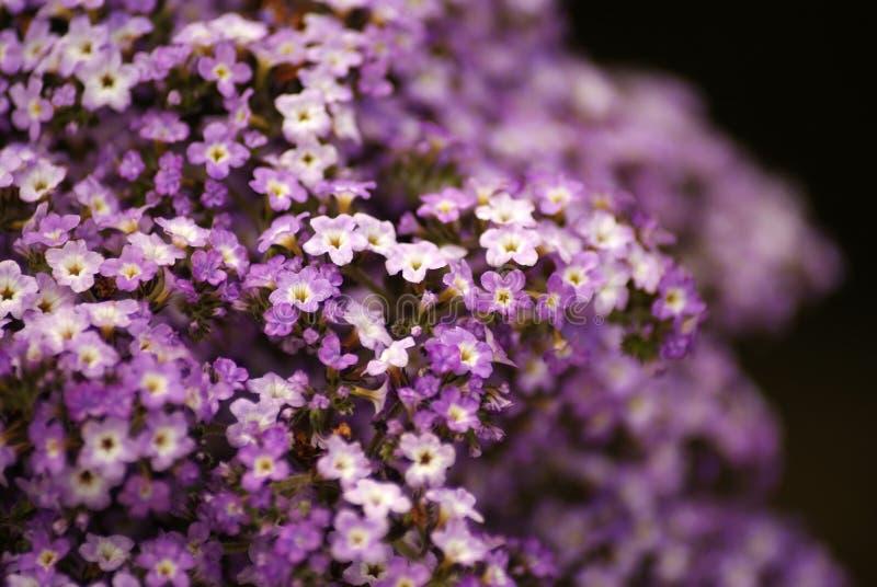 Heliotrope flowers in bloom royalty free stock images