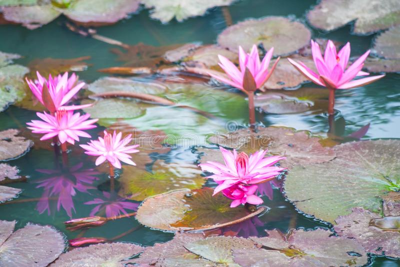 Pink Water Lilies on a pond. Pink and purple lilies are blooming in water with light brown leaves stock photo