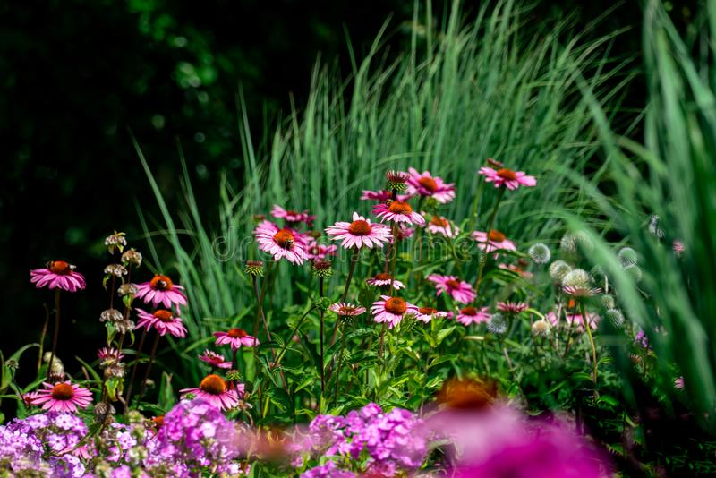 Scenic view of a colourful pink and purple summer flower bed with phlox and coneflowers stock photo