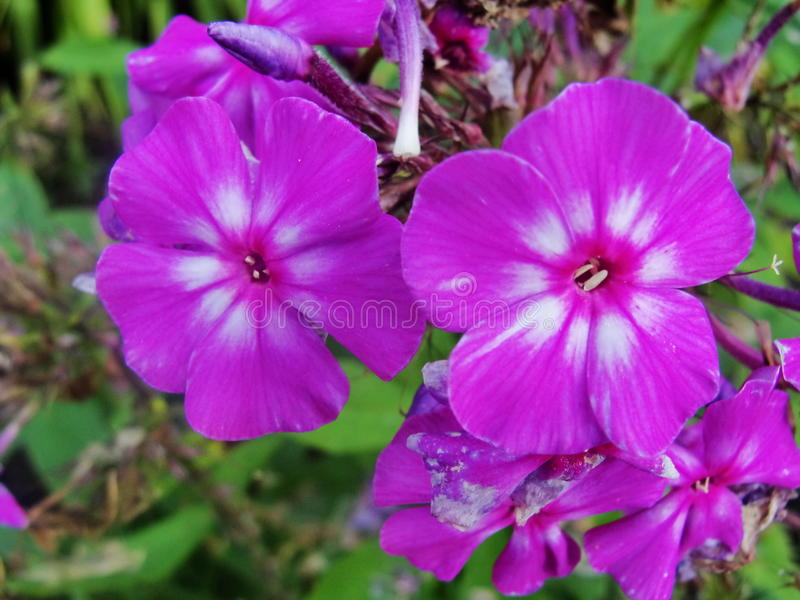 Pink purple phlox flowers in the garden. This is flowers of phlox. It is theme of seasons. royalty free stock photos