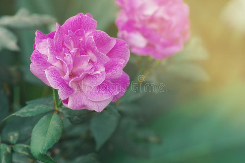 Pink purple rose growing in wild, soft flower background with bl stock images