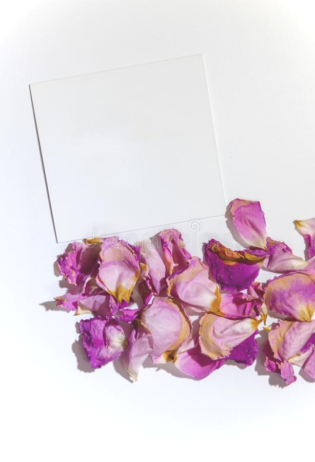 Pink and purple rose petals on a white background with a blank greeting card for a text, isolated royalty free stock photography