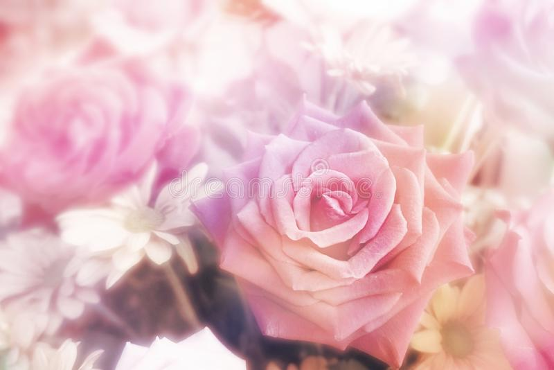 Pink purple roses flower in spring season background for Valentine`s Day royalty free stock photos