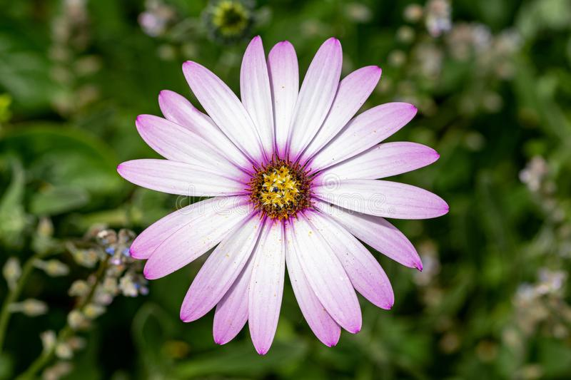 Pink purple tinged white leaves of the African Daisy Osteospermum jucundum stock image