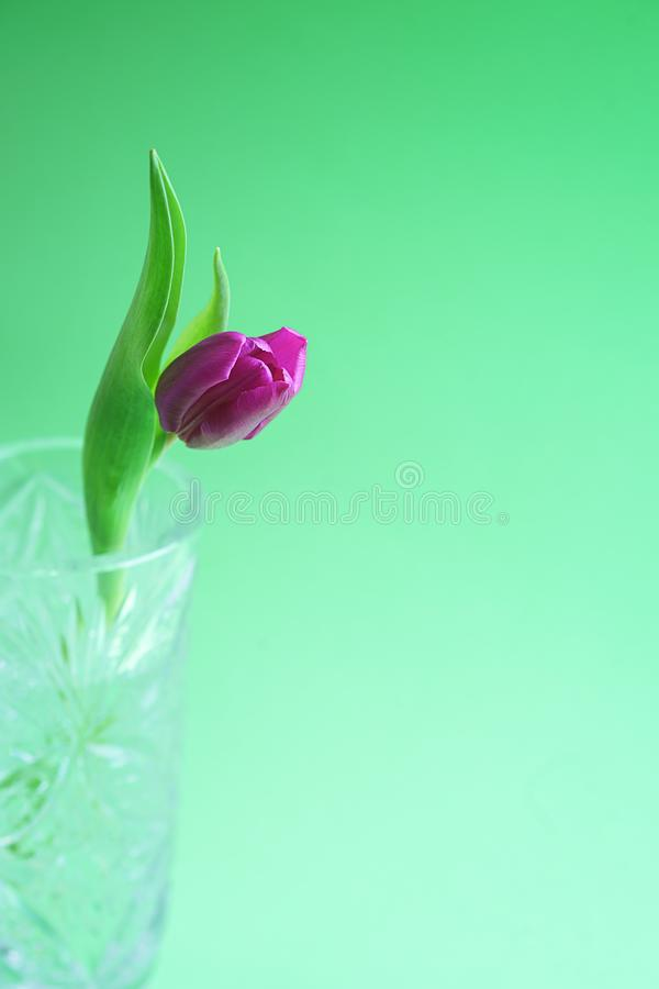 Pink or purple tulip flower. Easter or Valentine`s day greeting card. Isolated on green background. stock images