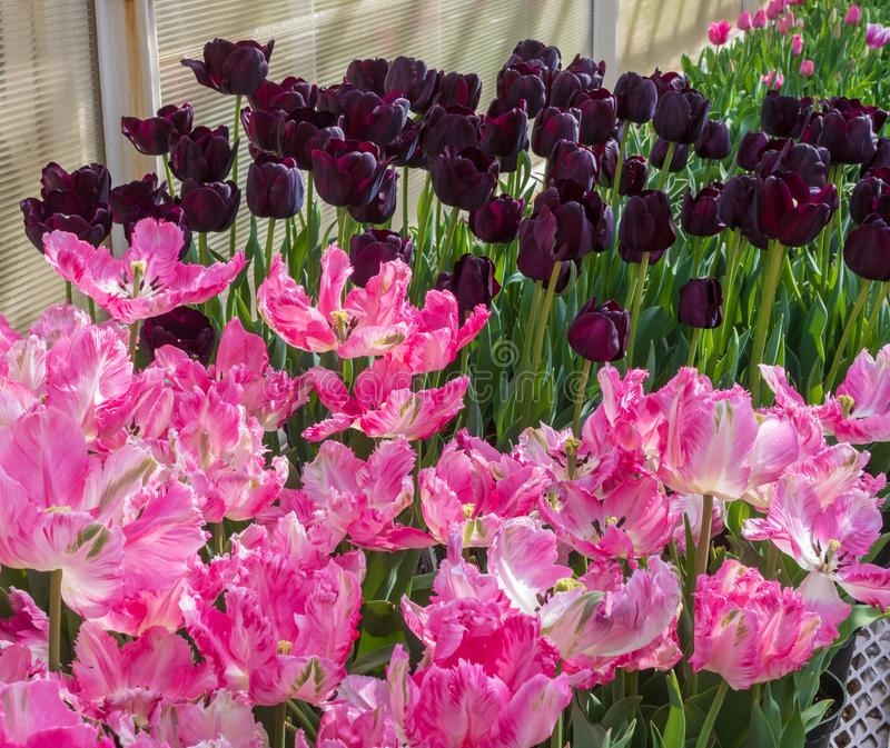 Pink and purple tulips in bloom. Several varieties of pink and purple tulips bloom in a greenhouse stock image