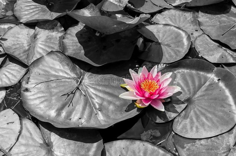Pink-purple water lily on black-white background. Pink-purple water lily on a black and white background floating in a lake stock photos
