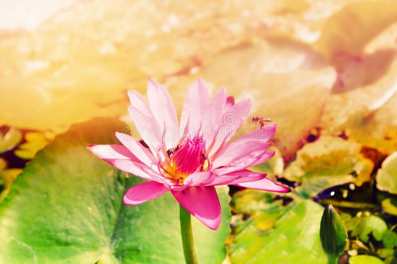 Pink and purple water lily flower with the bees in sunshine. Relax photo background stock photography