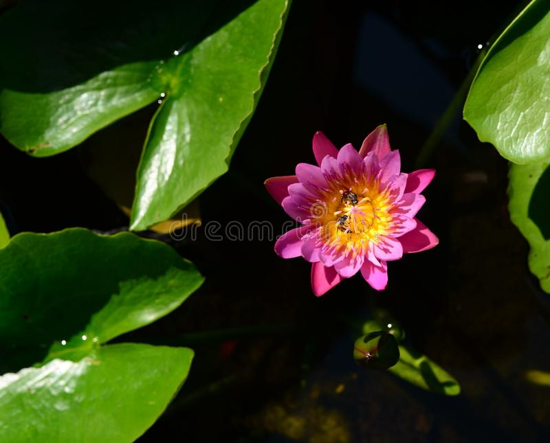 Pink purple water lily on water. Pink flower lily and green leaf on water stock photos