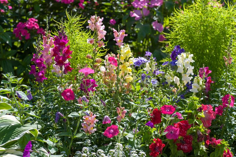 Pink, purple, white and red mixed cheerful and scented  flower border with colorful mix of Antirrhinum Maju  and mix of Petunia fl royalty free stock photo