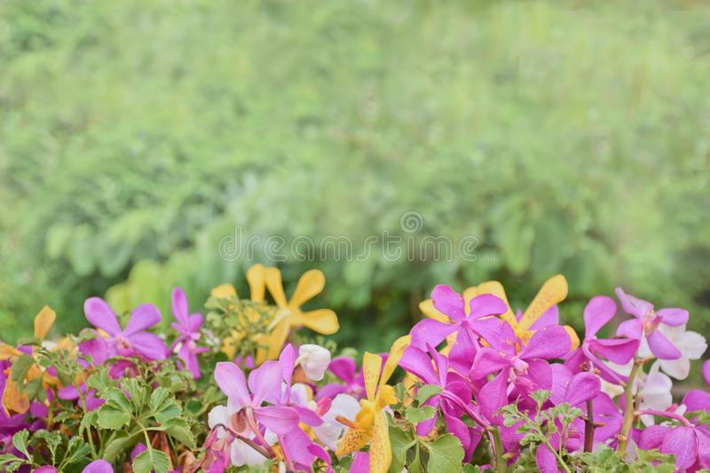 Pink,purple,white and yellow orchid flower in the garden with green background royalty free stock photo