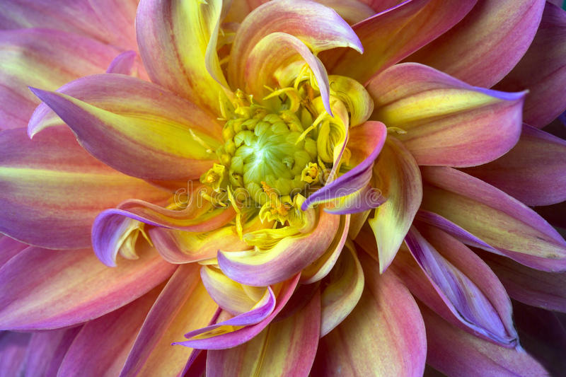 Pink purple and yellow dahlia stock image image of flora closeup download pink purple and yellow dahlia stock image image of flora closeup mightylinksfo
