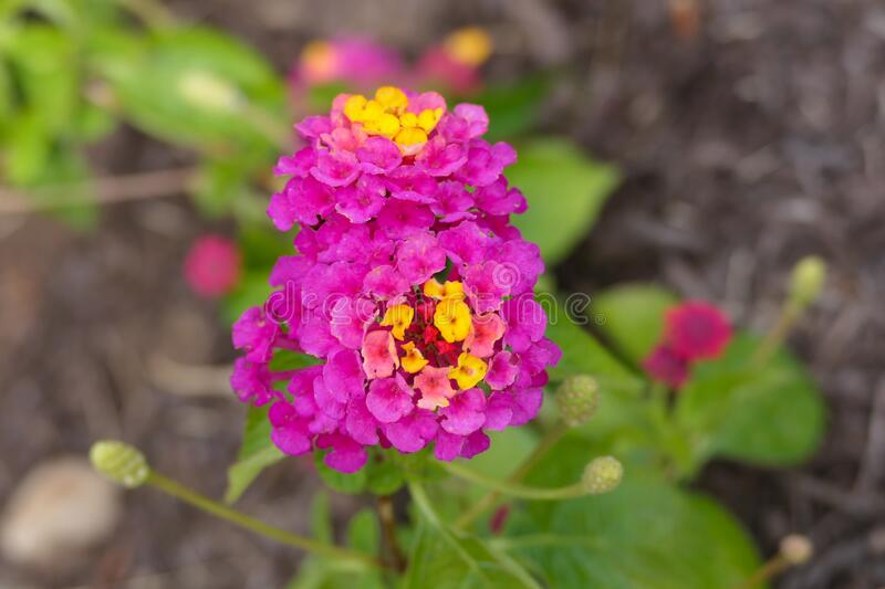 Colorful Lantana Camara Flowers in pink and yellow. Pink purple and yellow lantana camara flowers, called Lucky Sunrise Rose Lantana.  This photo is a macro top stock photos