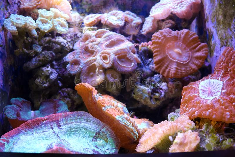 Pink purple yellow and orange reef coral stock photography