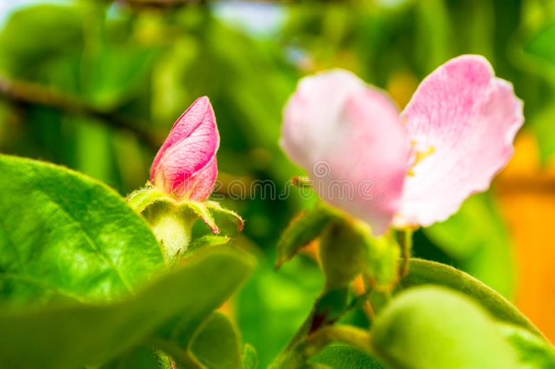Pink quince bud before opening up, with a bloomed adult quince flower next to it, up in a tree, with warm sunny rays on it. Pink quince bud before opening up stock image