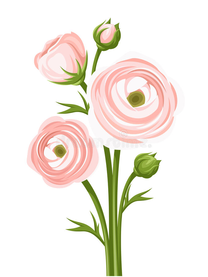 Pink ranunculus flowers. Vector illustration. royalty free illustration