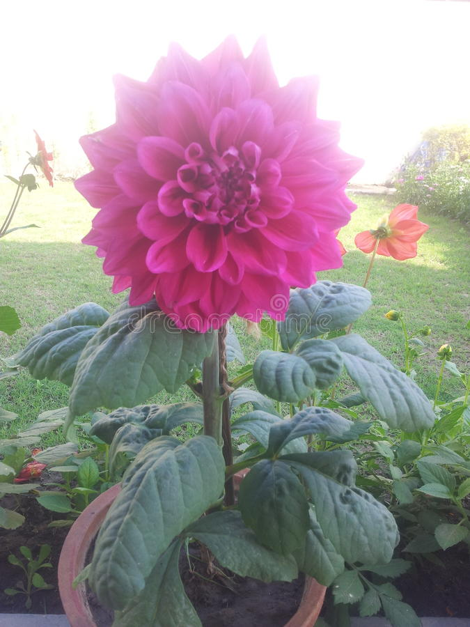 Pink real flower. From india meerut royalty free stock image
