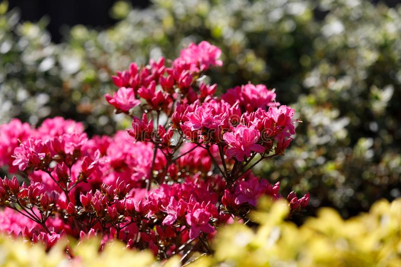 Pink, red azaleas blooms in spring stock photo
