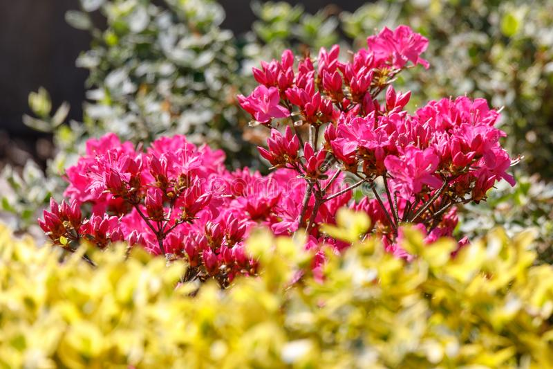 Pink, red azaleas blooms in spring royalty free stock images