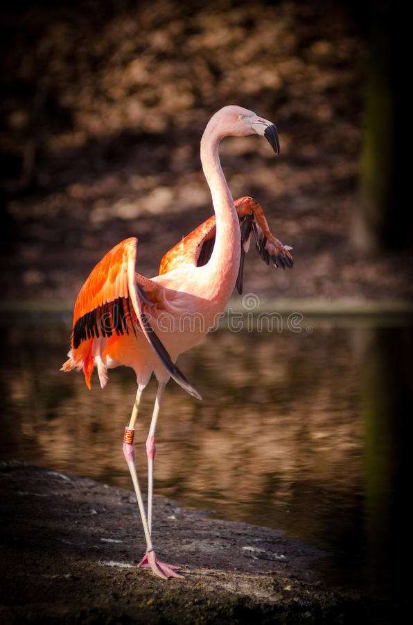 Pink And Red Flamingo Standing Near Body Of Free Public Domain Cc0 Image