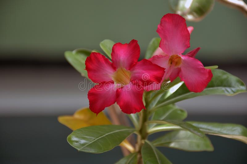 Pink and Red flower in garden Adenium obesum royalty free stock photo