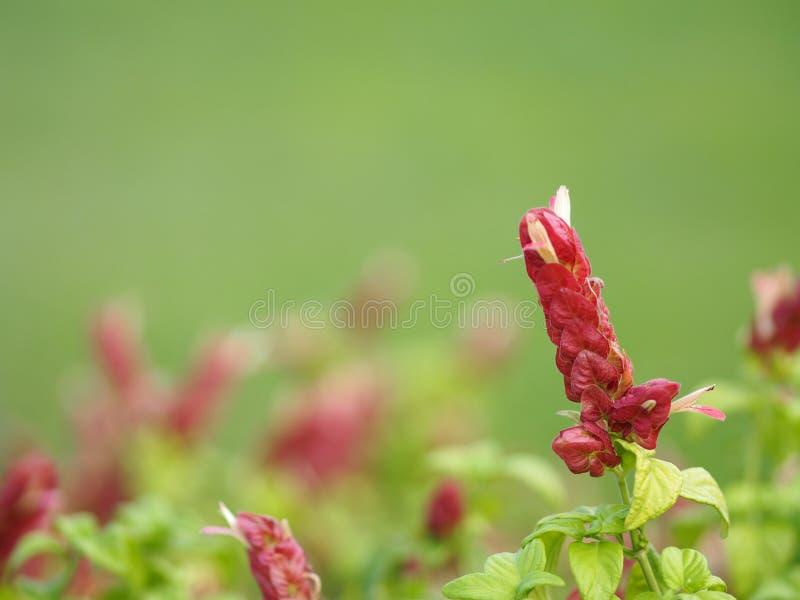 Pink red flower name Justicia Brandegeana Single leaf, opposite, alternate, perpendicular, lanceolate, leaf, end, sharp, slightly. Closeup Pink red flower name stock image