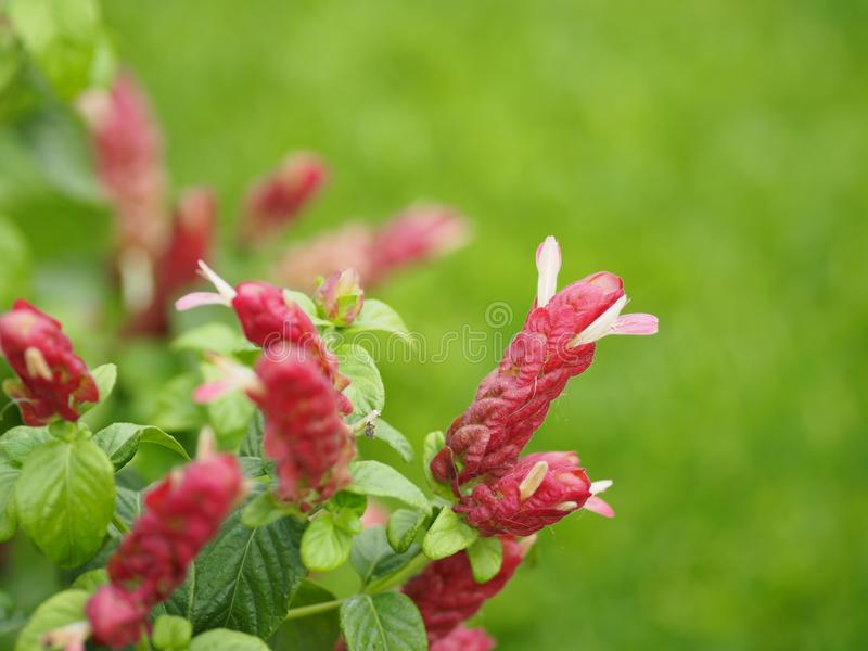 Pink red flower name Justicia Brandegeana Single leaf, opposite, alternate, perpendicular, lanceolate, leaf, end, sharp, slightly. Closeup Pink red flower name royalty free stock photos