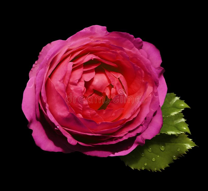 Pink-red flower roses on the black isolated background with clipping path no shadows. Rose with green leaves. For design. C. Loseup. Nature royalty free stock images