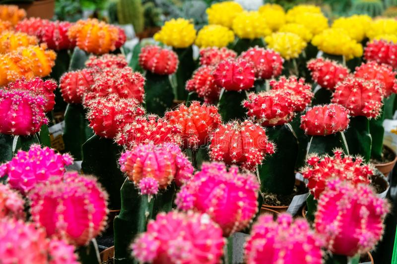 Pink and red Gymnocalycium cactus flowers. Indoor ornamental plant. stock photo