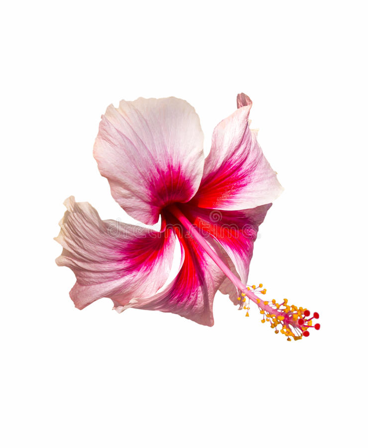 Pink and red hibiscus flower on white stock image