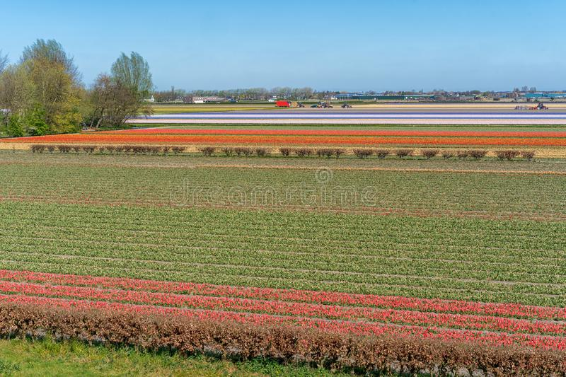 Pink, red and orange tulip field in North Holland during spring stock photography