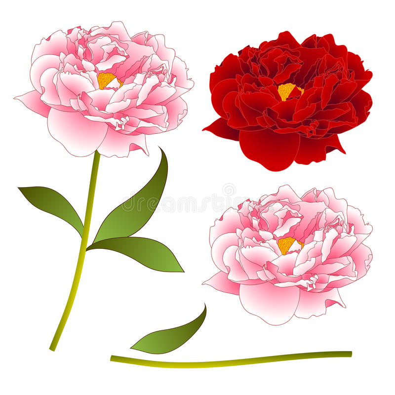 Pink and Red Peony Flower. isolated on White Background. Vector Illustration stock illustration