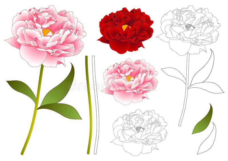 Pink and Red Peony Flower Outline. isolated on White Background. Vector Illustration. stock illustration
