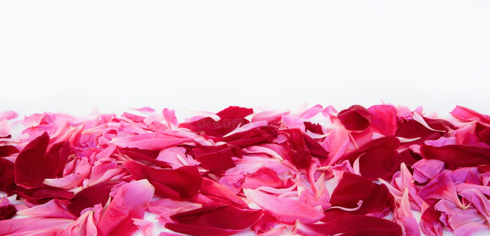 Pink and red petals of peony flowers lying on white background royalty free stock image