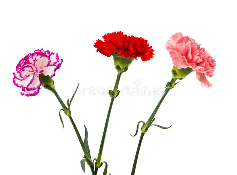 Pink red purple carnation flowers. Isolated on white royalty free stock photos