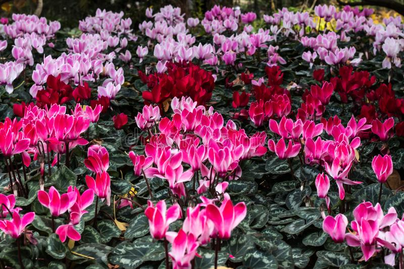 Pink red purple cyclamen flower blooms in garden bed with lush green leaves. Pink red purple cyclamen flower blooms in garden bed with green leaves royalty free stock images