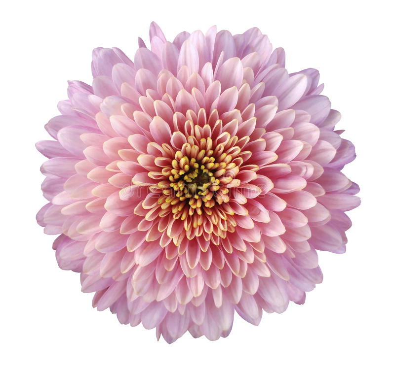 Pink-red-purple flower chrysanthemum, garden flower, white isolated background with clipping path. Closeup. no shadows. yellow-g royalty free stock image