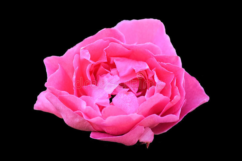 Pink red Rose on black background. A pink red rose outlined on a black background stock photo