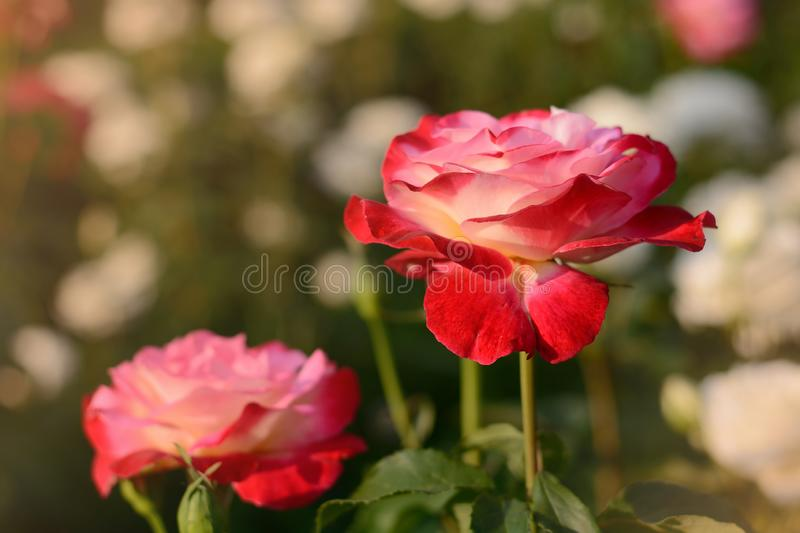 Pink red rose blossoming flower bud closeup on sunset on blurred field of roses natural background. Summertime floral background royalty free stock images