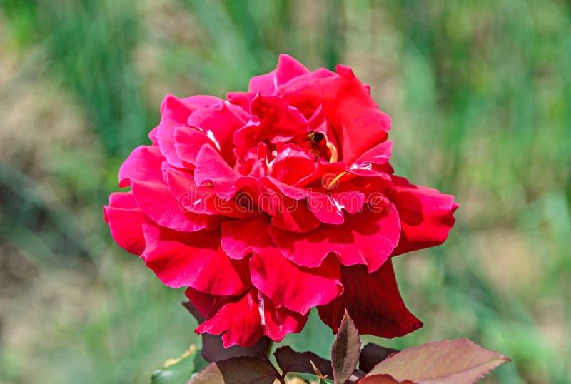 Pink red rose flower, green branch plant, bokeh garden background stock image