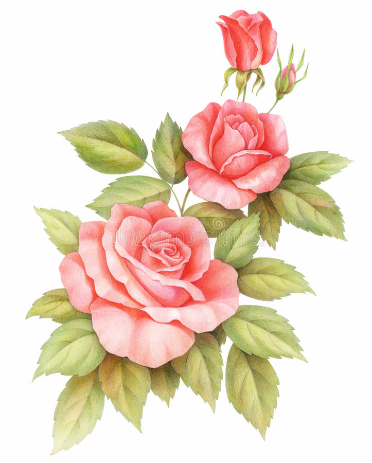 Pink red vintage roses flowers isolated on white background. Colored pencil watercolor illustration. vector illustration