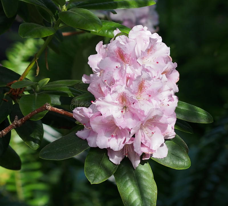Pink Rhododendron In Bloom stock photography