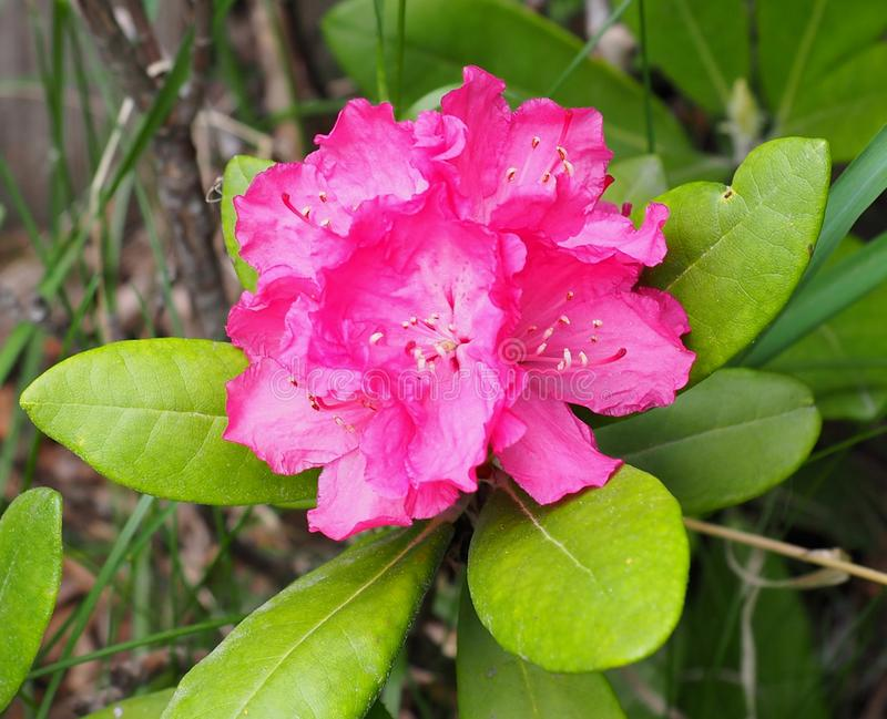 Pink Rhododendron In Bloom royalty free stock images