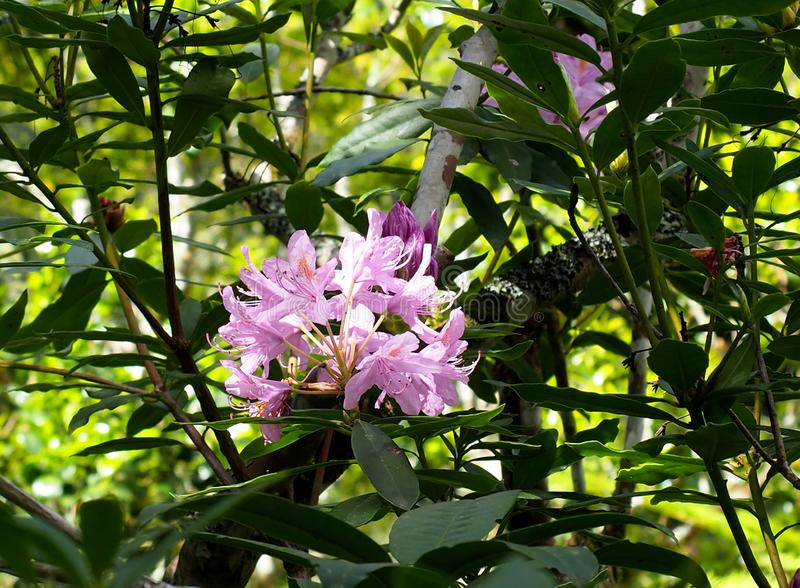 Rhododendron In Bloom In Sintra Portugal royalty free stock photos