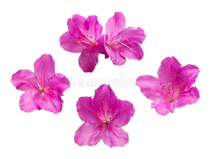 Pink Rhododendron flowers isolated on white background royalty free stock image
