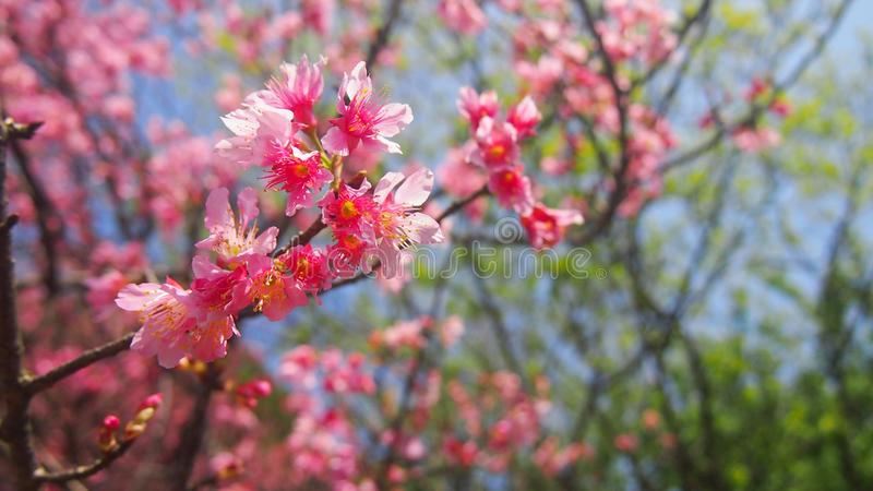 Pink Rhododendrons cherry blossom flowers branches Taiwan stock image