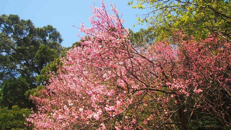 Pink Rhododendrons cherry blossom flowers branches Taiwan stock photo