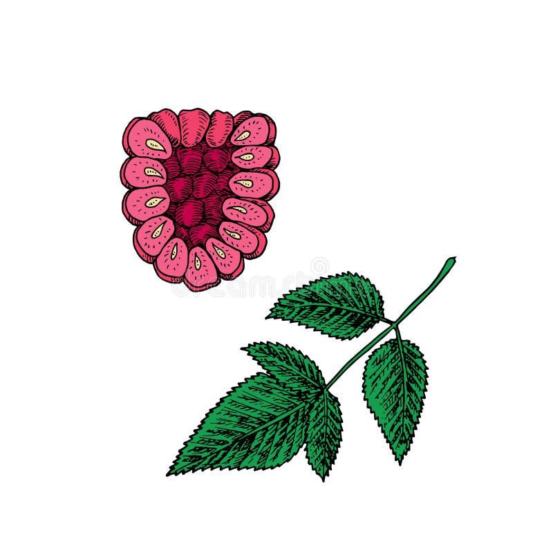 Pink ripe raspberries branch with green leaf, vector doodle sketch illustration royalty free illustration