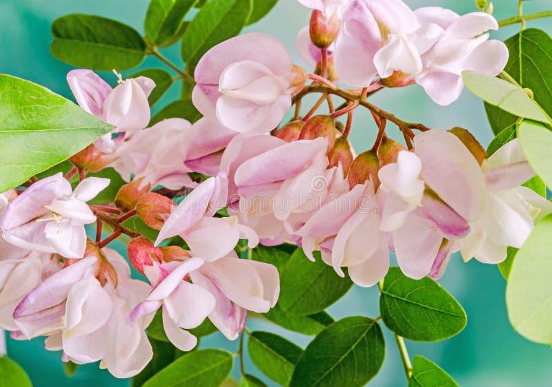 Pink robinia pseudoacacia tree flowers know as black locust ge download pink robinia pseudoacacia tree flowers know as black locust ge stock photo mightylinksfo