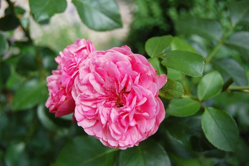 Pink Rosa odorata stock photos